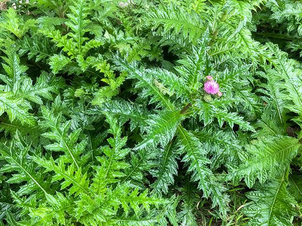イリオモテアザミの花