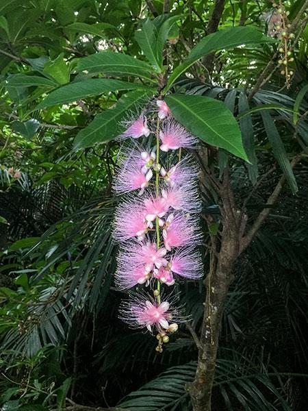 見事に咲くサガリバナ