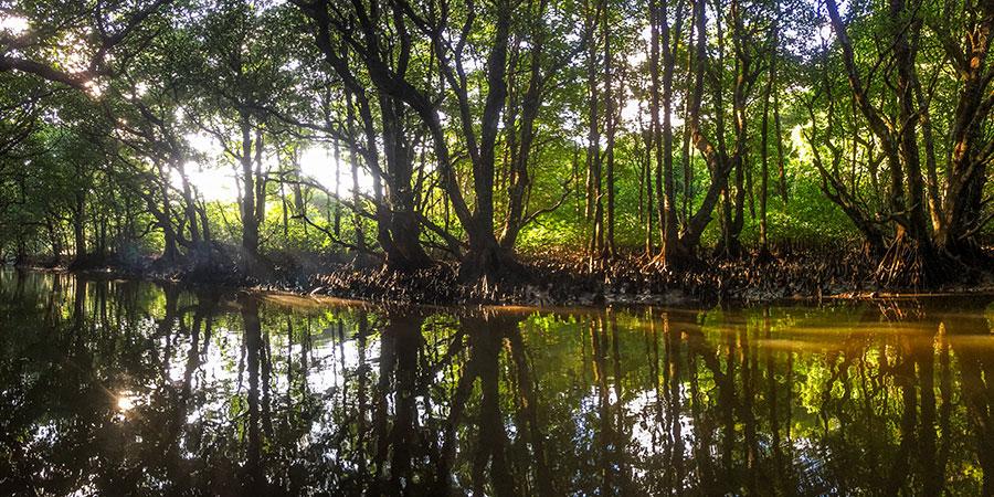 朝日が差し込む早朝のマングローブ川