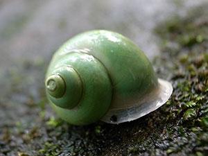 よく見るアオミオカタニシ。薄い緑色。